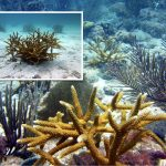 Coral Gardening is Benefiting Caribbean Reefs, Study Finds